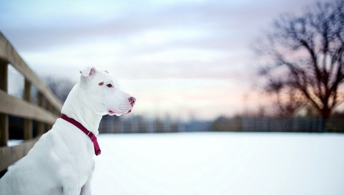 Snow dogs wallpaper
