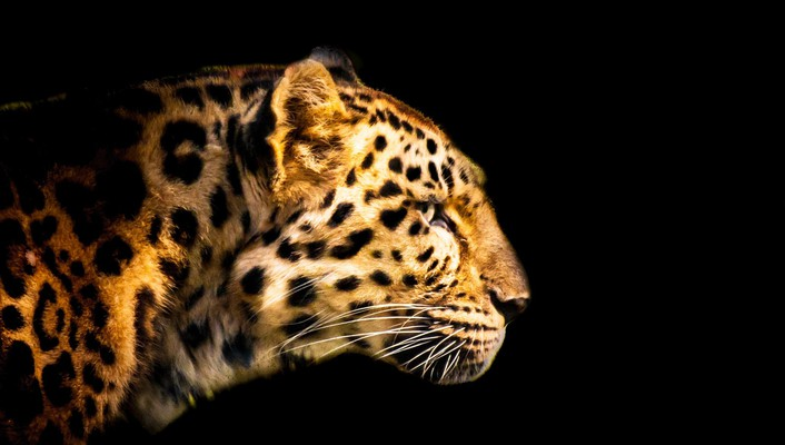 Cats leopards wallpaper