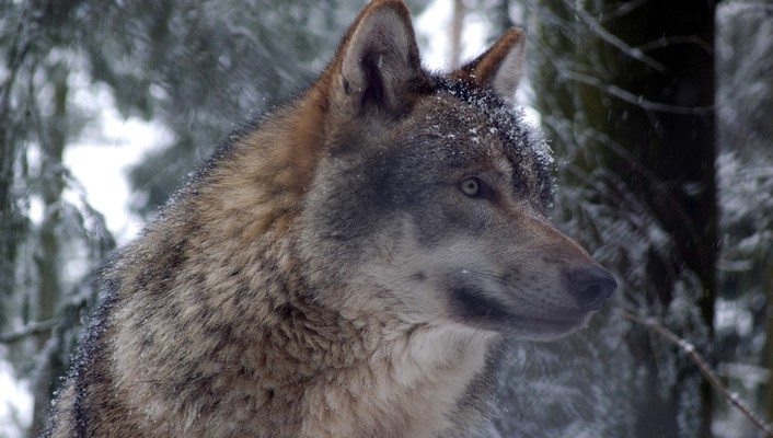 Grey wolf in forest wallpaper