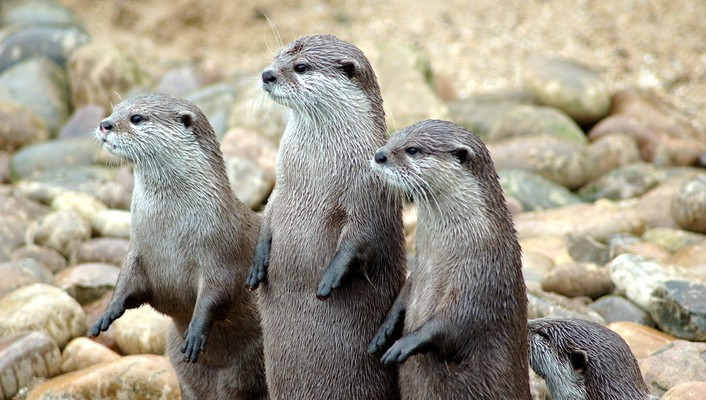 Animals otters wallpaper