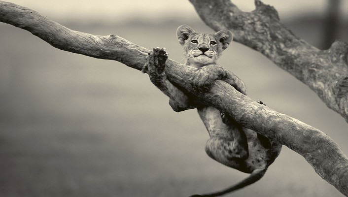 Animals baby grayscale lions wallpaper