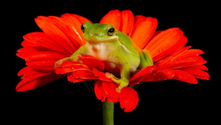 Frogs black background red flowers amphibians wallpaper