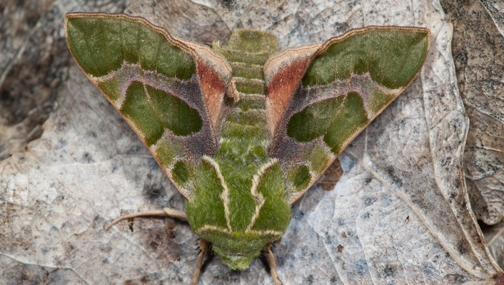 Insects moths wallpaper