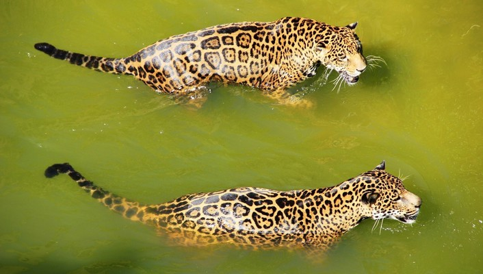 Water animals jaguars wallpaper
