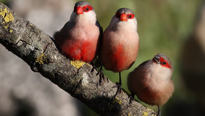 Finch branches birds wallpaper