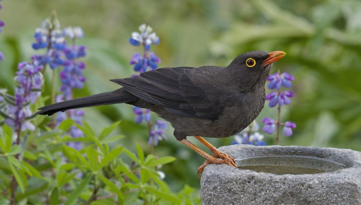 Beautiful thrush wallpaper