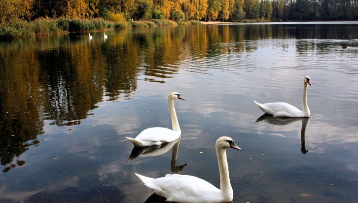 Trees swans ponds birds wallpaper