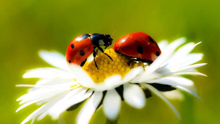 Insects ladybirds daisies wallpaper