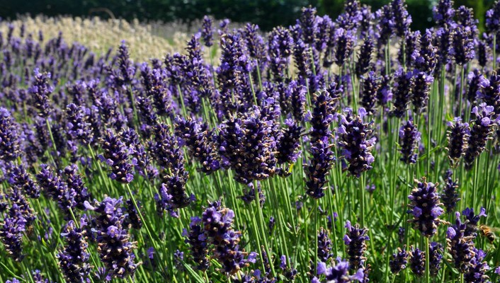 English lavender wallpaper