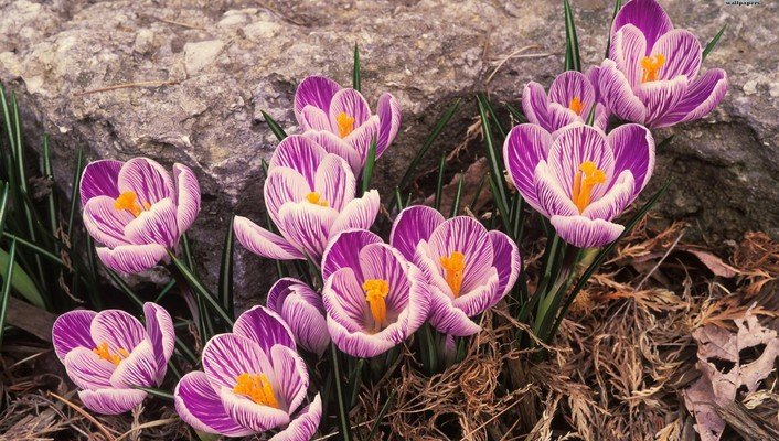 Striped crocus wallpaper