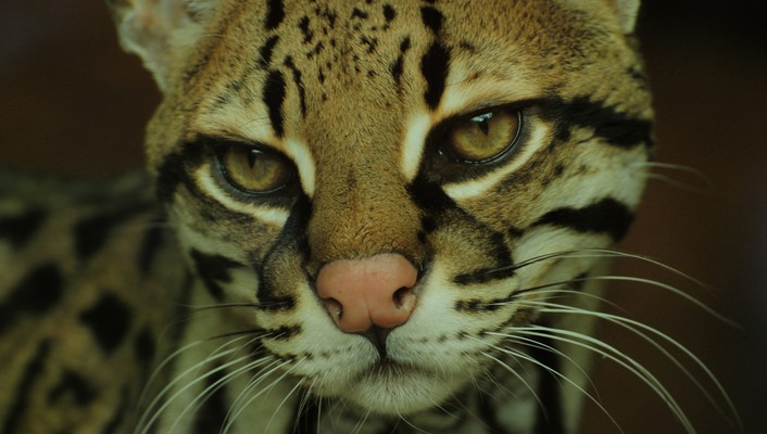 Ocelot close up wallpaper