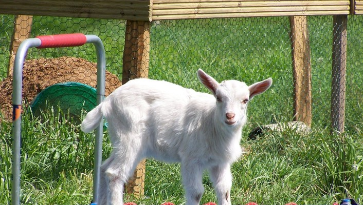 Animals grass grid goats baby wallpaper