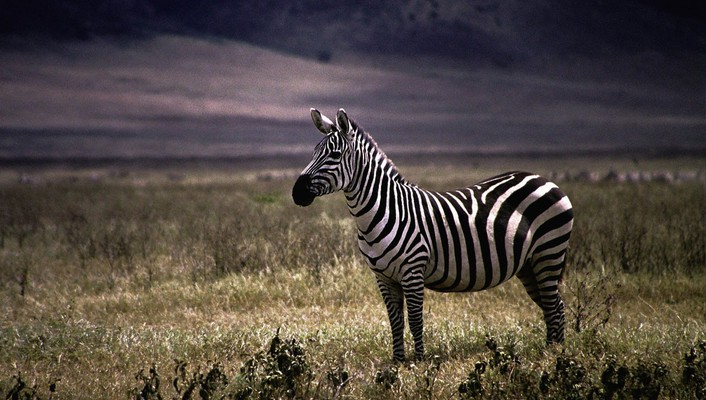 Nature animals zebras wallpaper