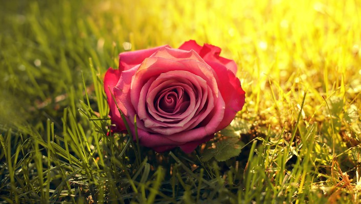 Nature flowers grass sunlight roses pink rose wallpaper
