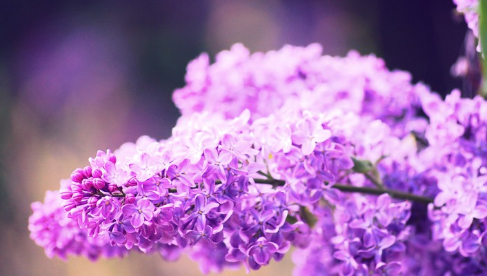 Flowers lilac pink wallpaper