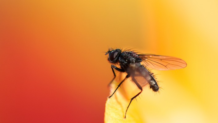 Fly insects macro orange wallpaper