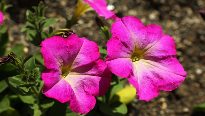 Flowers nature petunias pink wallpaper