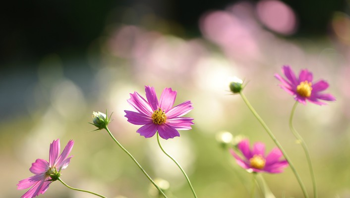 Flowers pink cosmos flower wallpaper