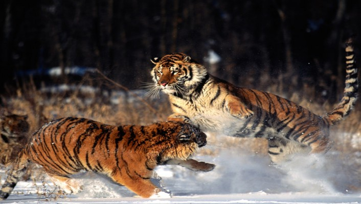 Nature snow animals tigers wallpaper
