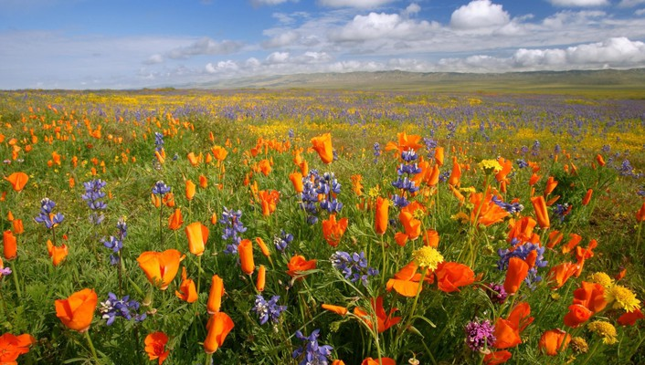 California national monument meadows orange plain poppies wallpaper