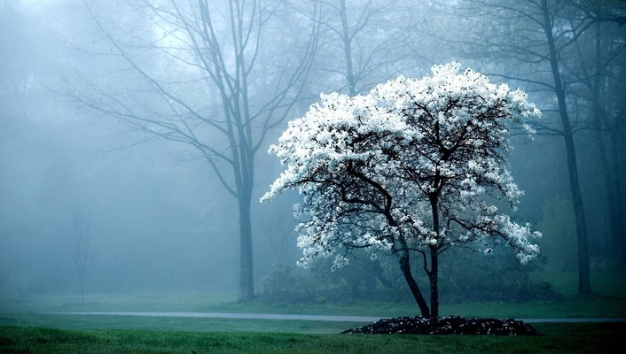 Tree of blooming white blossoms wallpaper