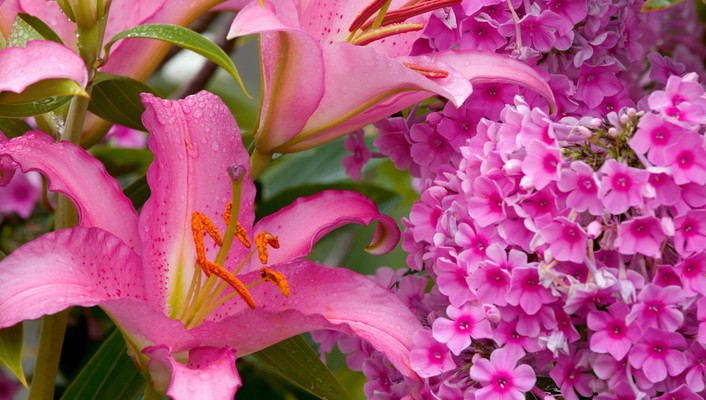 Flowers phlox lilies pink wallpaper