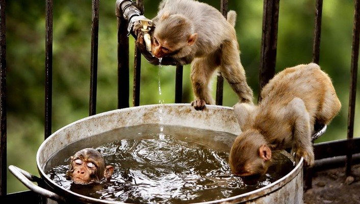 Water animals bathing cage monkeys wallpaper