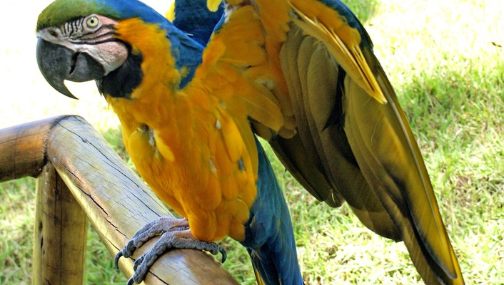 Blueandyellow macaws birds parrots wallpaper