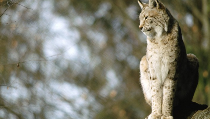 Nature animals lynx blurred background wallpaper