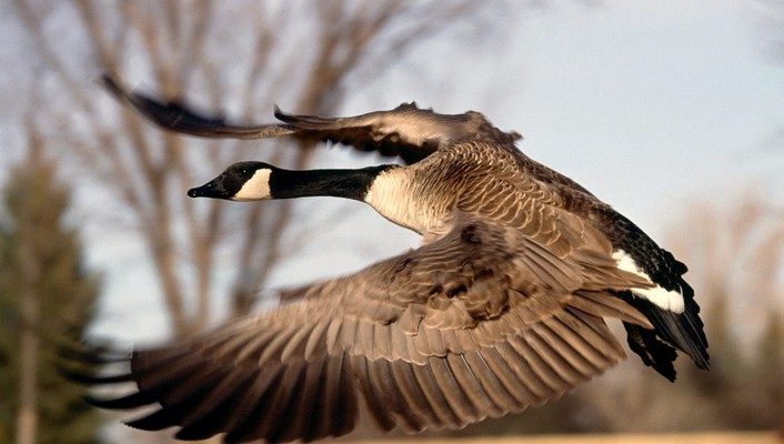 Canada birds canadian geese flight flying wallpaper