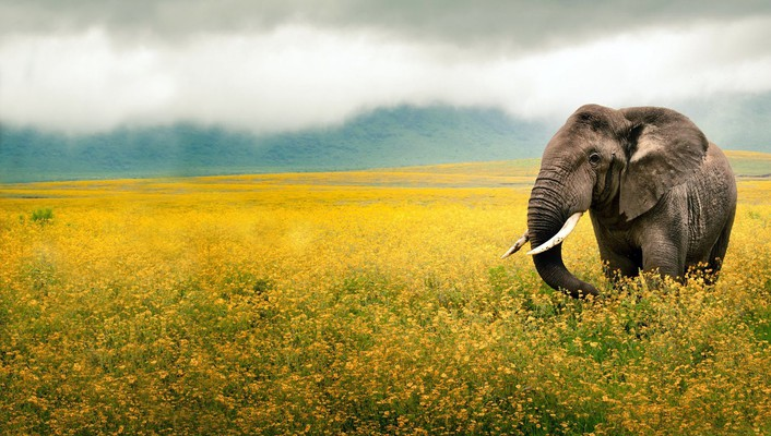 Tanzania elephants fields mammals yellow flowers wallpaper