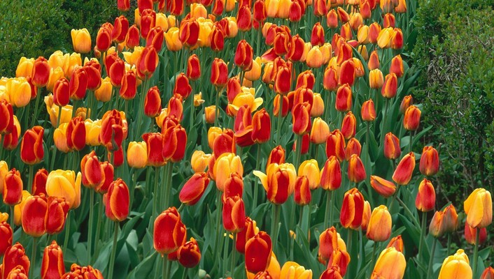 Holland michigan elite parks tulips wallpaper