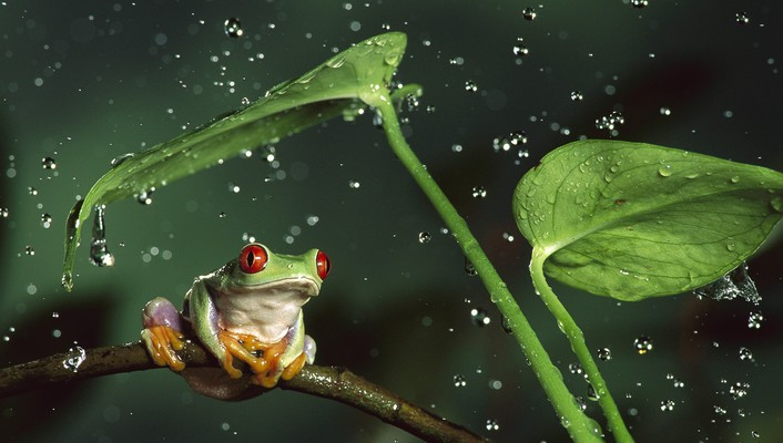 Rain frogs red-eyed tree frog shelter amphibians wallpaper