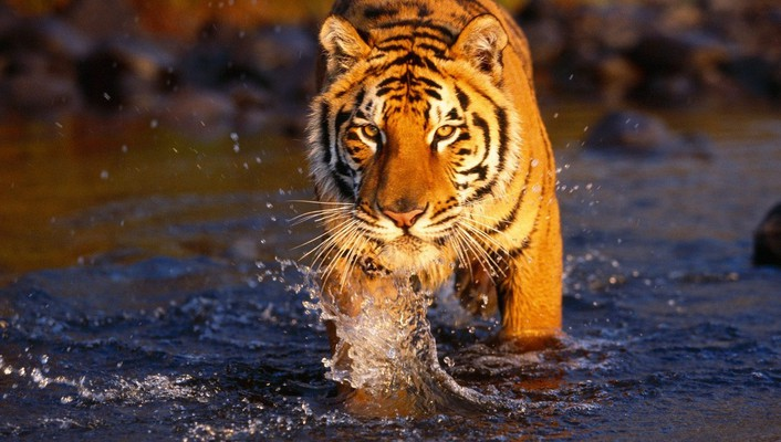 Bengal tigers animals creek crossing wallpaper