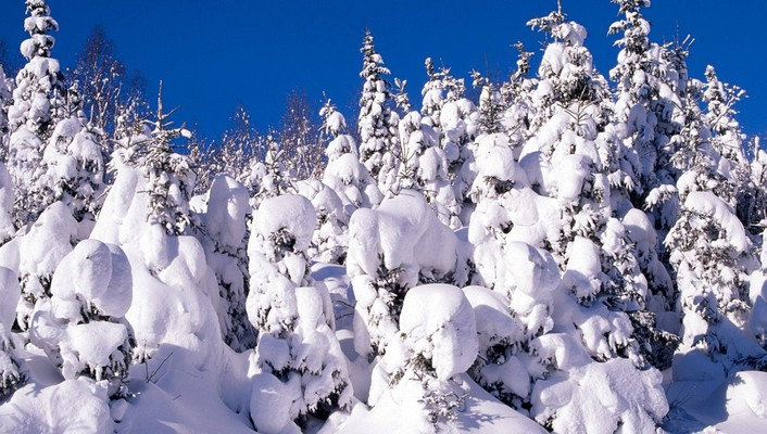 Canada snow spruce trees wallpaper