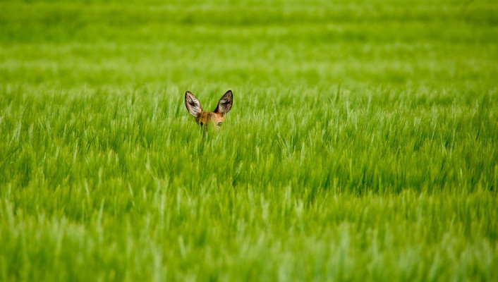 Animals grass fields deer fawn baby hidden wallpaper
