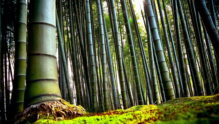 Nature bamboo plants wallpaper