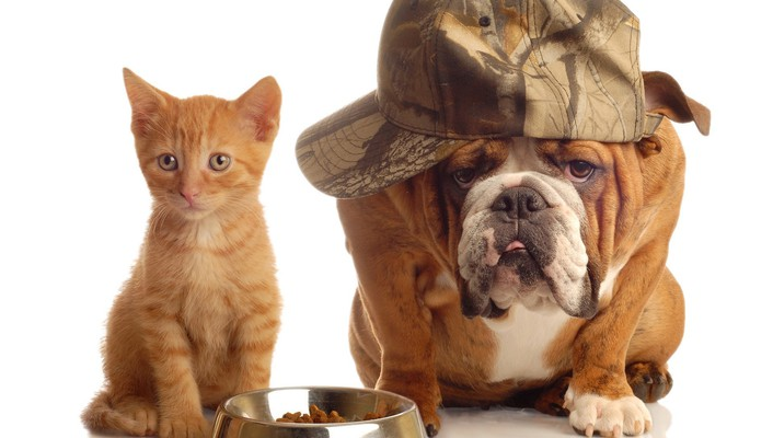 Animals bulldog cats dogs english wallpaper