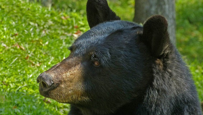 Animals black bear wallpaper