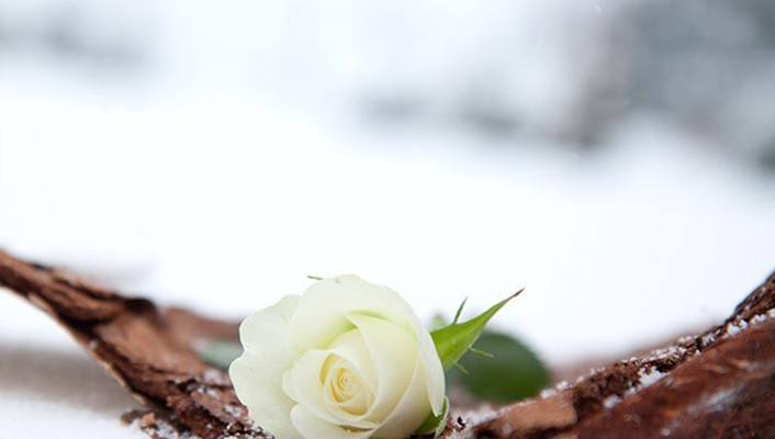 Winter white roses wallpaper