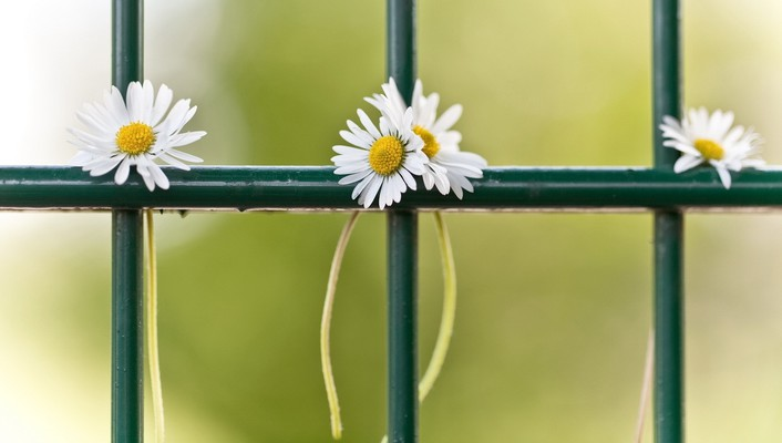 Fences flowers wallpaper