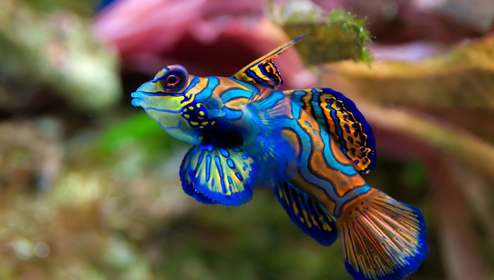 Fish mandarinfish wallpaper