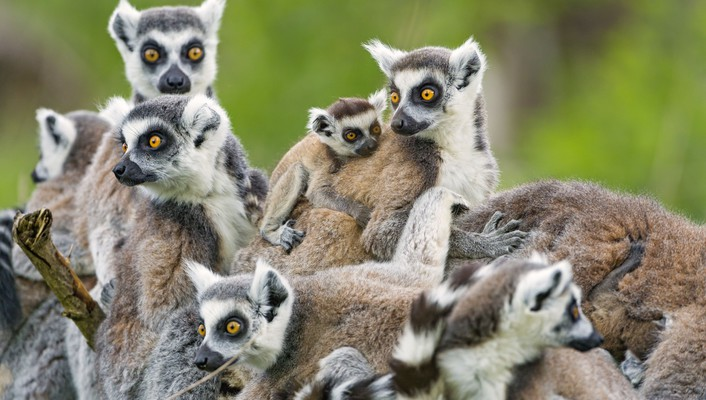 Lemurs family wallpaper