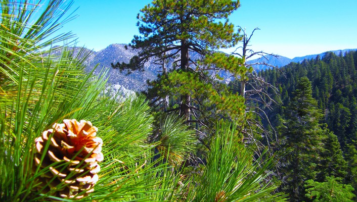 Pine cone and trees on a mountain side wallpaper