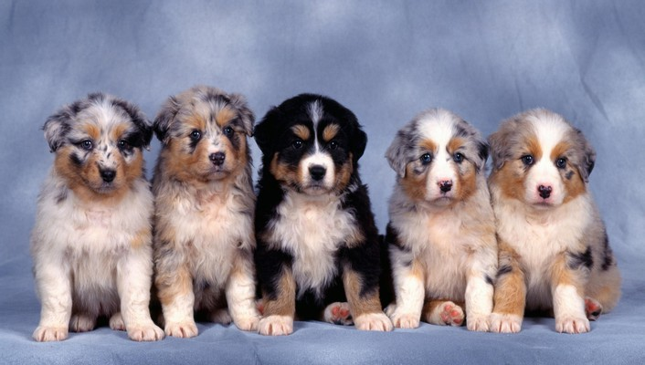 Animals australian shepherds blue background dogs nature wallpaper