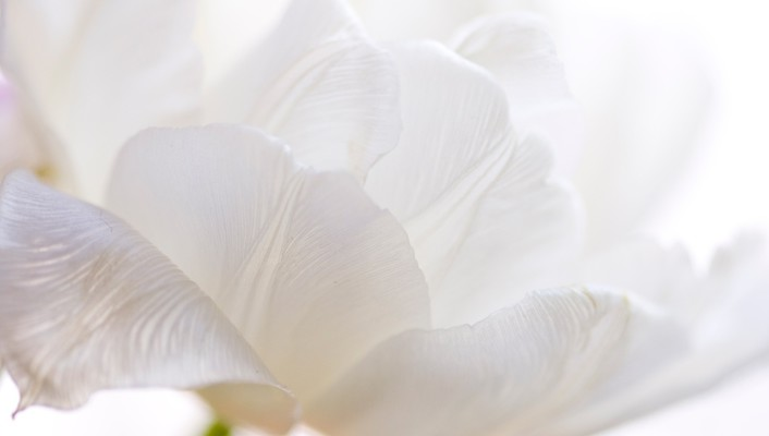Delicate white tulip wallpaper