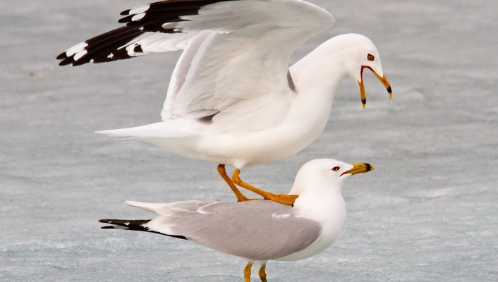 Birds animals seagulls wallpaper