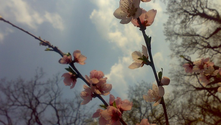 Branches flowers nature pink spring wallpaper