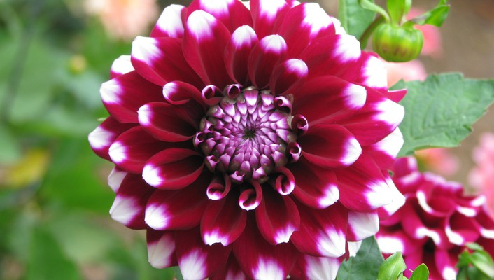The splendiferous dahlia wallpaper