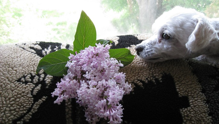 Poodle enjoying scented lilac wallpaper